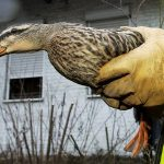 Bird flu outbreak forces France to launch mass duck cull