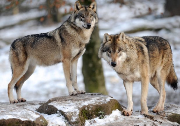 Wolves have set up home in the Paris region, experts say
