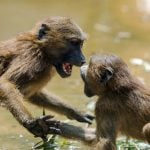 French researchers discover baboons can say 'wahoo'... and other vowel sounds
