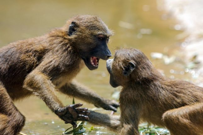 French researchers discover baboons can say 'wahoo'… and other vowel sounds