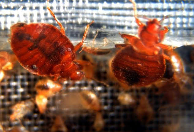 Are Americans really behind the bed bug explosion in Paris?