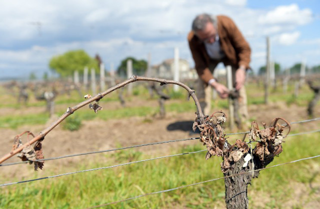 French winegrowers pin hopes on June bloom to save harvest
