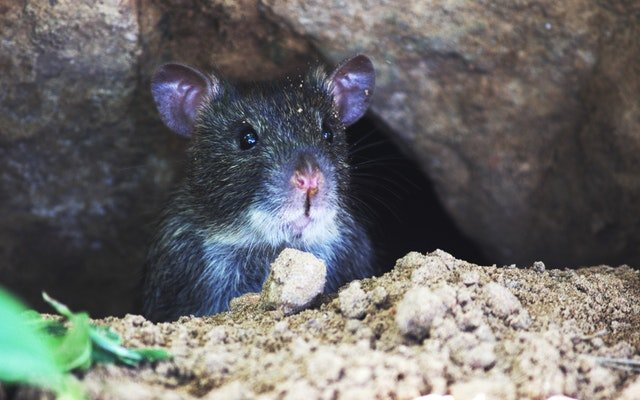 French mayor eats rat after losing football bet
