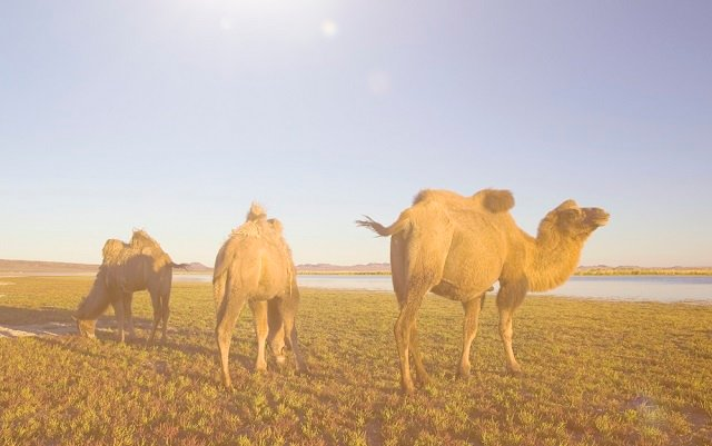 Four runaway camels have been tracked down in northern France