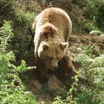 Bear chases flock of 209 sheep off a cliff to their death in Pyrenees