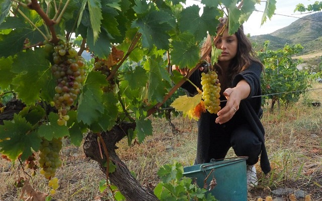 French wine production set to plummet by a fifth this year