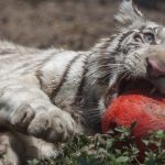 Mexican tiger cub named after French striker Gignac