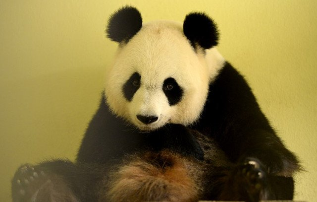 Panda at French zoo pregnant with twins