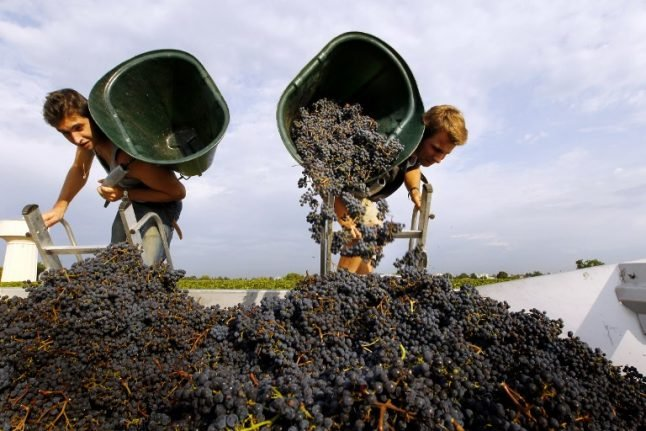 Thieves pillage seven tonnes of grapes from Bordeaux vineyards