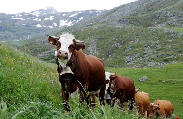 Noisy cows spark outcry from British homeowners in French Alps