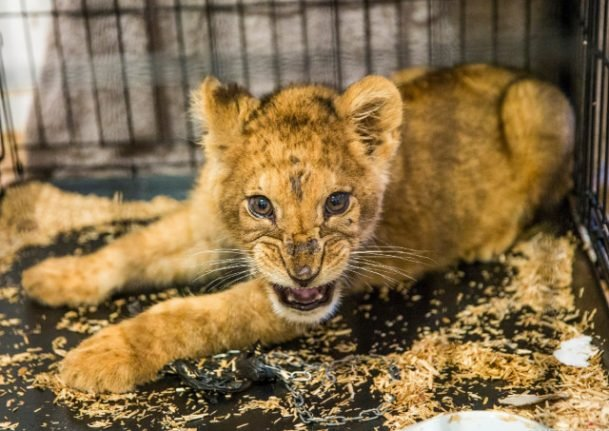 Half-starved lion cub found abandoned in Paris flat