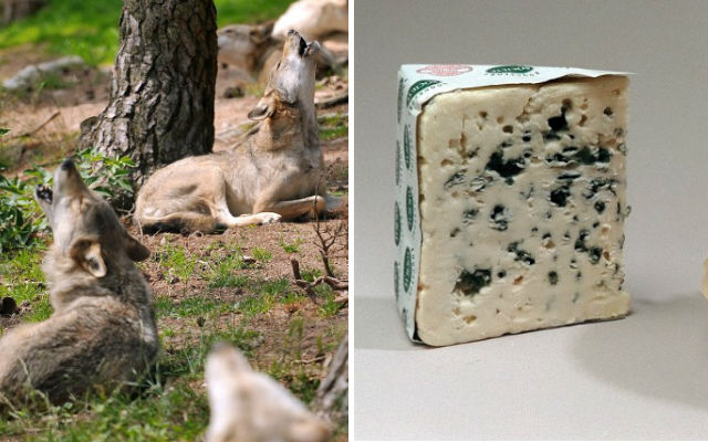France's strict cheese-making rules leave sheep farmers at mercy of the wolves