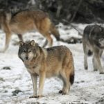 France caught in war with wolves