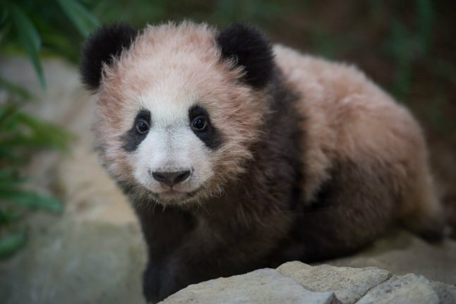 France's first panda cub makes debut appearance
