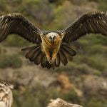 'Bone eaters' are back: Europe's largest vultures return to French Alps