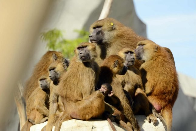 Paris zoo reopens after last truant baboons found