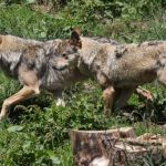 France to grow wolf packs despite farmers' anger