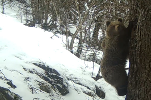 Video: Family of Pyrenean bears emerges from hibernation in time for spring