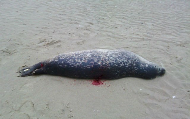 Who is killing the seals on the beaches of northern France?
