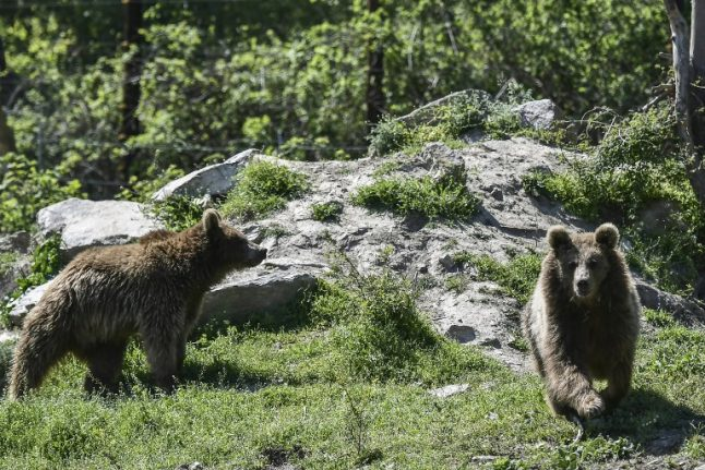 French farmers furious over plans to release more bears in the Pyrenees
