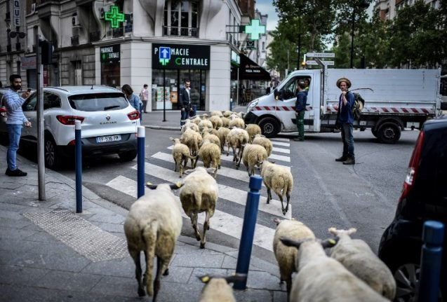 Hay Paris: Sheep get a taste of city life on streets of French capital