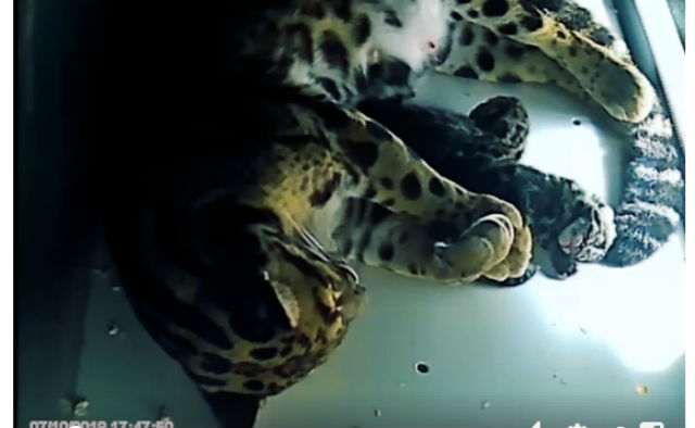Two endangered leopard cubs born at French zoo