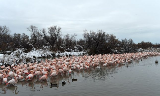 French director red-faced after pink flamingo disaster in the Camargue