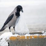 'Intelligent' crows to work as rubbish collectors at French theme park