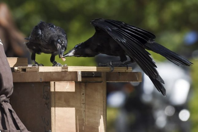 Rubbish-collecting crows a star attraction at French theme park