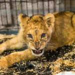 Half-starved lion cub abandoned in Paris flat finds new home