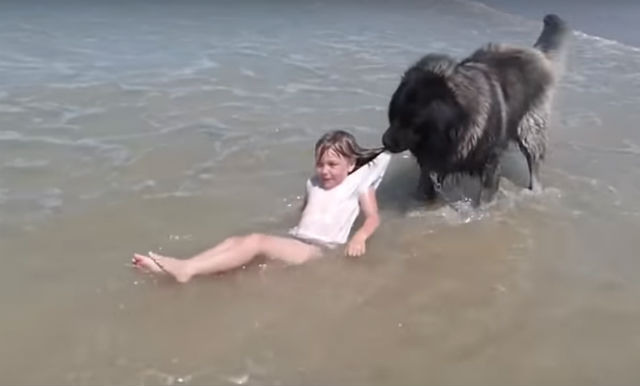 VIDEO: Dog 'rescues' little girl playing in Normandy sea
