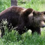 French farmers furious as France announces more bears for the Pyrenees