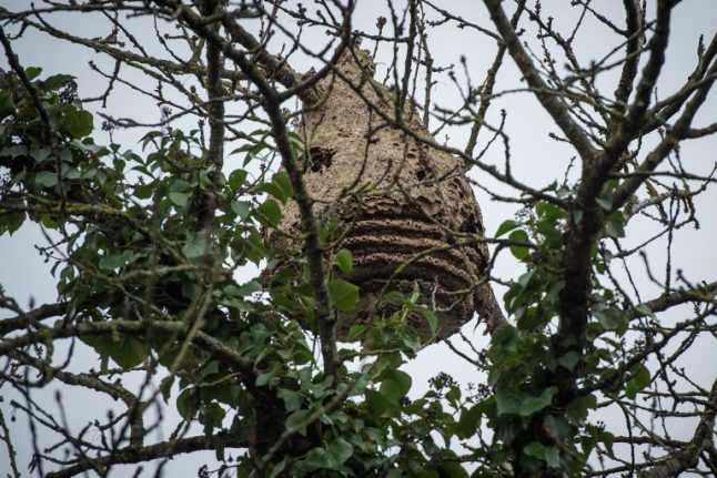 Asian hornets claim another victim in France: What to do to avoid being stung