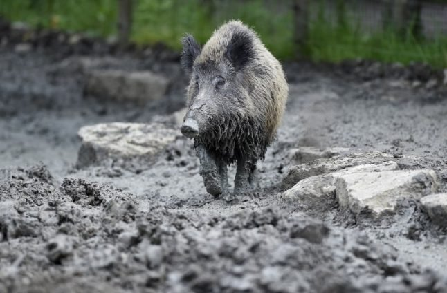 Boar wars: French government steps in to help farmers fight rampaging animals