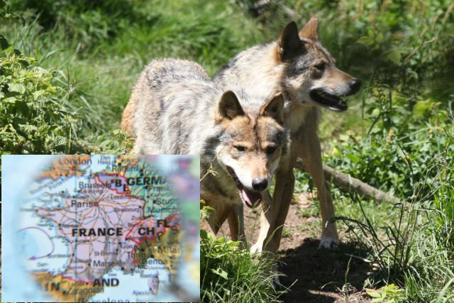 A Glance around France: Bullet proof vests in the Var, and have wolves returned to Brittany?