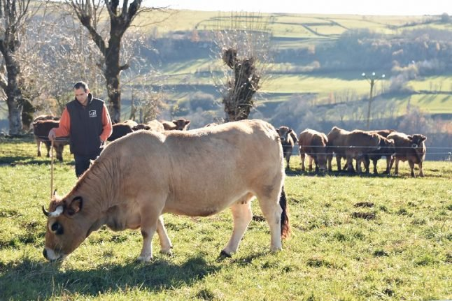 Anthrax outbreak: France begins vaccinating cows and sheep