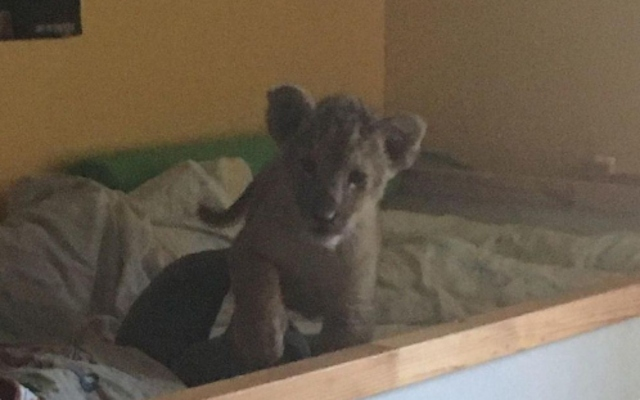 French Police seize another lion cub from Paris suburb apartment