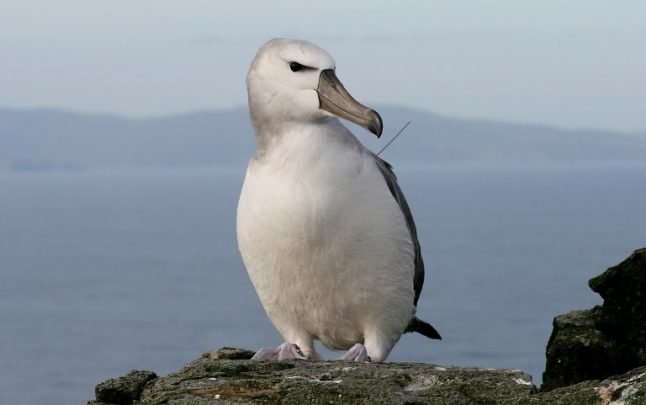 French researchers use albatrosses to spy out illegal fishing
