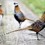 French pheasant breeders cry fowl over ferry chick ban