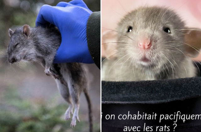 Why Parisians need to stop worrying and learn to love the rats