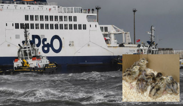 P&O can refuse French chick shipments for British hunts, says court