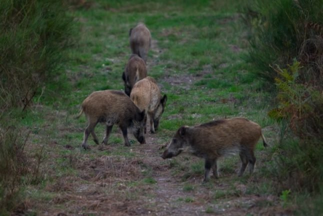 France to cull thousands of wild boar in north over swine fever fears