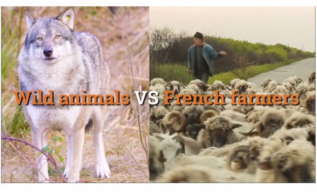 VIDEO: French farmers versus wolves and bears in a battle for their livelihoods