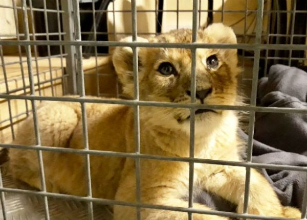 VIDEO: See how you can help the four rescued French lion cubs