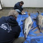 What you need to know about the hundreds of dead dolphins washing up on French beaches