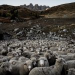 Why a French school just enrolled 15 sheep (yes, sheep) as students