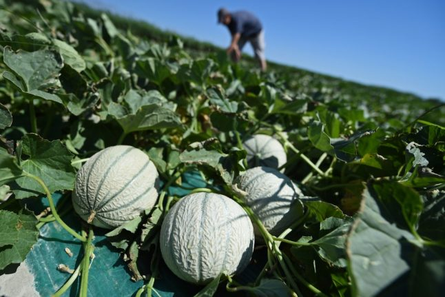 French farmers warn of Charentais melon shortages this summer