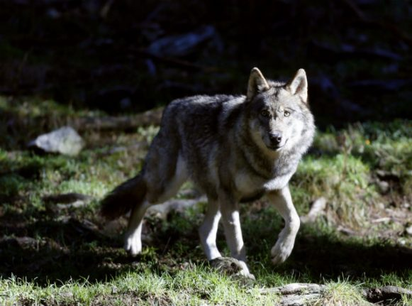 France's 'wolf brigade' patrols Alps to protect flocks
