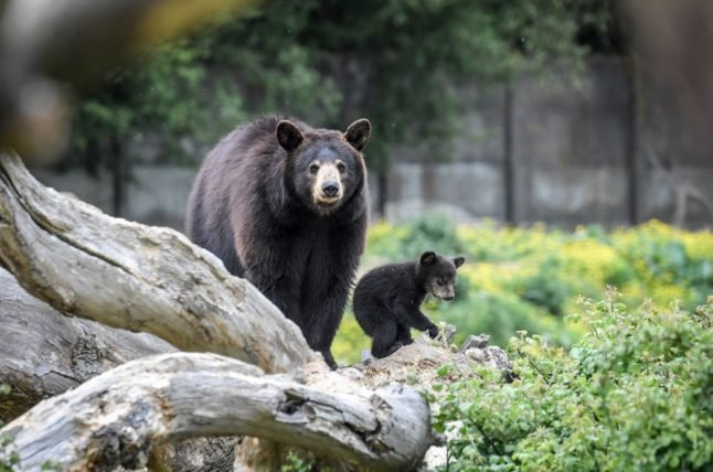 Bear hunt launched in France after rescue cub escapes from village