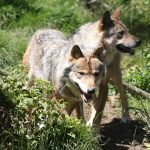 France to step up wolf culls as population surges and farmers fear for livelihoods